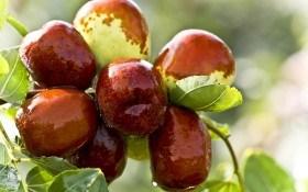 Священное дерево: сорта зизифуса в Украине