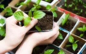 Як виростити розсаду вдома