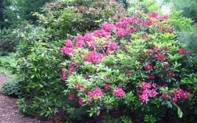Кальмія, сестра рододендрона: види та сорти, вирощування у садибі