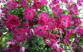 Колір життя, величний і прекрасний: сорти клематисів з червоними квітками