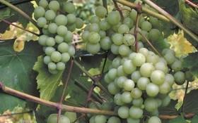 У нього все чудове – і ягоди, і листя: кулінарні рецепти з винограду Армалага