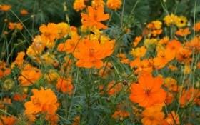 Нев'януча краса: однорічники в осінніх квітниках