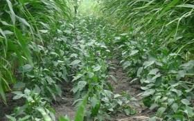 """Врожай """"за лаштунками"""": досвід вирощування солодкого перцю"""