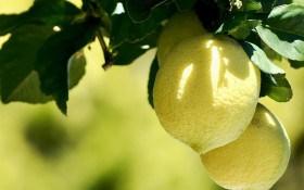 Пан Лимон: як створити йому найкращі умови при вирощуванні