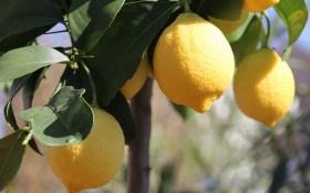 Вороги у панцирі: рятуємо цитрусові рослини від шкідників