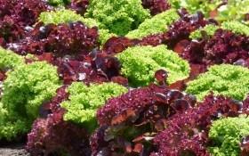 Отчего чахнет салат? Болезни культуры в открытом и защищенном грунте