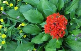 Лихнис: выращивание цветка по имени зорька