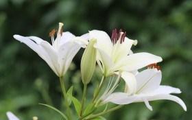 Чисті, мов сніг: види та сорти лілій з білим забарвленням квіток