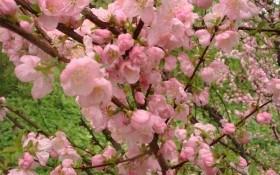 Расцвет весны: яркие луизиании и миндали