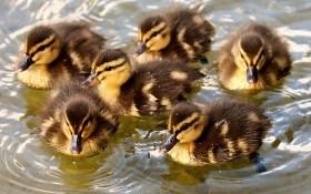 Птичий дом: гусята, утята, индюшата из инкубатора