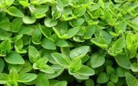 Трава тріумфаторів та закоханих: цілющі і харчові властивості садового майорану