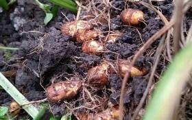 А горішки непрості: вирощуємо смачну та корисну чуфу