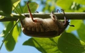 Полет хруща: боремся с личинками майского жука