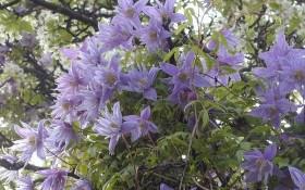 Малі, зате вдалі княжики: сорти дрібноквіткових клематисів в дизайні саду