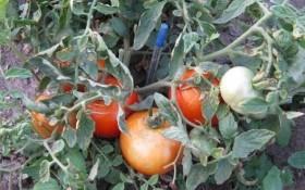 """Помідори з """"низького старту"""": агроприйоми для низькорослих сортів"""
