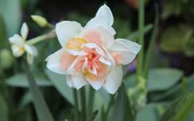 Пора цвітіння: екзотична форма і забарвлення махрових нарцисів