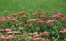 Несподівані барви: деревій прикрашає садибу