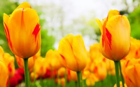 Ранняя выгонка тюльпанов: в чем секрет успеха