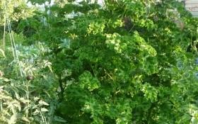 Незвичайна рідня у квітучій родині: салатна мальва