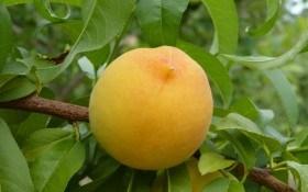 Солодкі персики на гіркому мигдалі: технологія вирощування культури на різних підщепах
