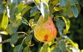 Друга після яблуні – груша: досвід вирощування імунних та продуктивних сортів зарубіжної селекції