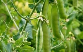 За царя Гороха: корисні властивості зеленого горошку