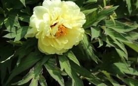 Любимец среди пионов, прекрасный гибрид – бартзелла