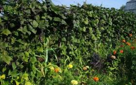 """Овочеві """"щити"""": вирощуємо захисні куліси з виткої квасолі"""