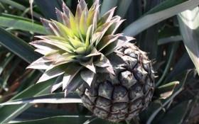 Серце золоте, а душа колюча: ананас в кімнатних умовах