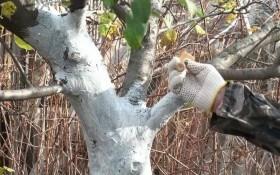 Особенности осенней побелки деревьев