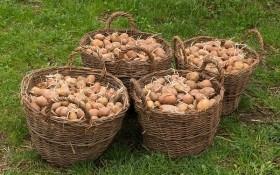 Як отримати здорові та дружні сходи картоплі: п'ять простих правил