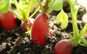 Червень кличе на город: повторні посіви
