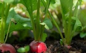 Редис починає сезон: особливості посіву та догляду за культурою