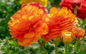 Жовтець – квітка нареченої: ботанічні особливості, вирощування, види і сорти
