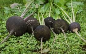 Особенности выращивания черной редьки