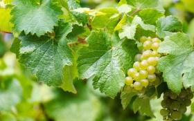 """Зелена """"операційна"""": проводимо весняне щеплення винограду"""