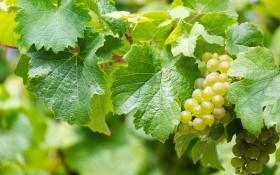 Як поливати виноградник: види і способи зрошування до, після та впродовж вегетації