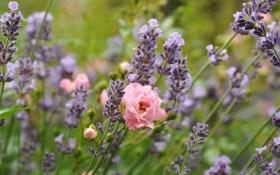 Свято аромату: створюємо сад пахощів з ароматичних рослин та квітів