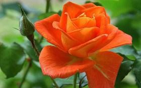 Трояндове літо: підживлення, полив та захист розарію у червні