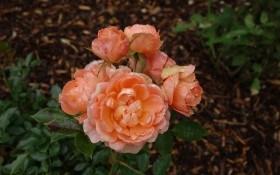 Троянди в жовтні: і висаджуємо, і до зими готуємо