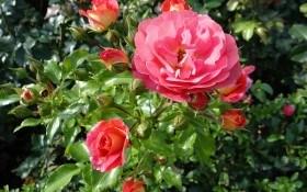 Липневі клопоти у розаріі: час живцювати троянди