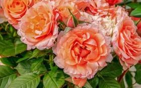 Турбота про здоров'я примадонни: розпізнаємо хвороби листя і квіток троянд