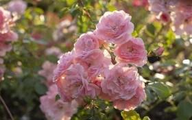 Розкішні кущі троянд: розмножуємо живцюванням
