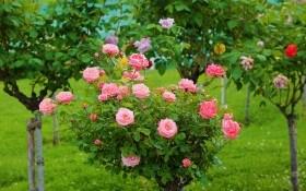 Трояндові дерева: особливості догляду за штамбовими формами