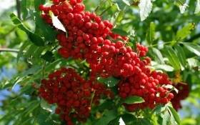 Садова аптека: червоноплідна та чорноплідна горобина у садибі