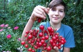 Від малого до великого: вирощуємо дрібноплідні та великоплідні сорти помідорів