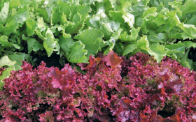 Дольче вита — круглый год! Лучшие сорта салата