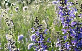 Дійови особи - шавлії: цілющі властивості рослин роду Salvia