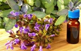 Шалфей лекарственный: необходимый уход, применение, садовые формы