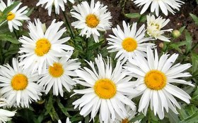 Любить-не любить: ромен у садибі, вирощування, види та сорти